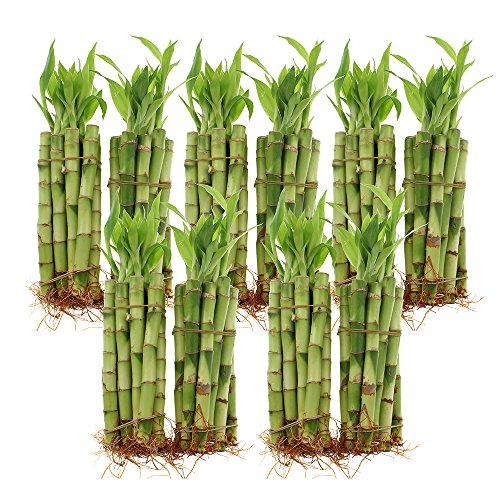Live Lucky Bamboo Bundle of 100 Stalks - 6 Inch Stalks - Live Indoor Plants for Home Decor, Arts & Crafts, and Feng Shui