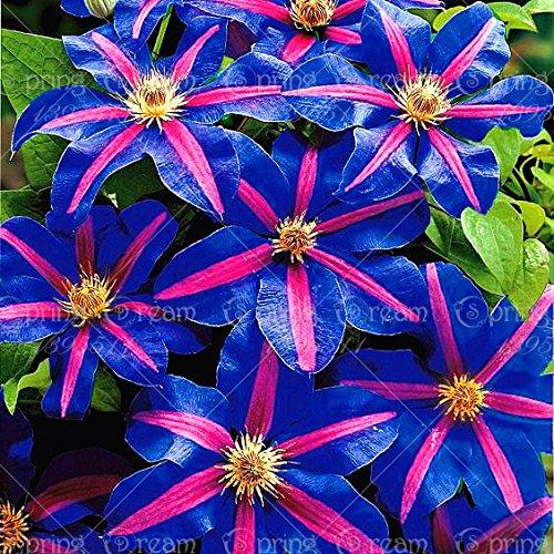1pcs climbing clematis bulbs,clematis tree bulbs Garden plants, perennial planting rare flower bulbs for flower pot for home gar 12 SEEDS ONLY