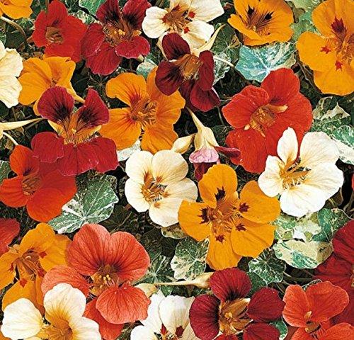 Davids Garden Seeds Flower Nasturtium Kaleidoscope Mix D1882 (Multi) 50 Organic Seeds