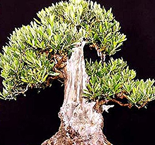 5 x OLIVE TREE - Olea europaea - Seed Seeds - Great For BONSAI - Variety from ITALY - Frangrant Blooms - PERFECT FOR INDOOR AND GREENHOUSE - By MySeeds.Co