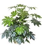 Planta de la casa - Planta para el hogar o la oficina - Aralia de Japón - Aralia