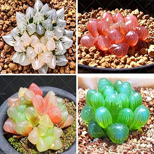 MYEDO 500 Pcs Rare Crystal Clear Beauty Succulents Seeds Easy to Grow Perennial Tropics Potted Ornamental Lithops Seed Bonsai