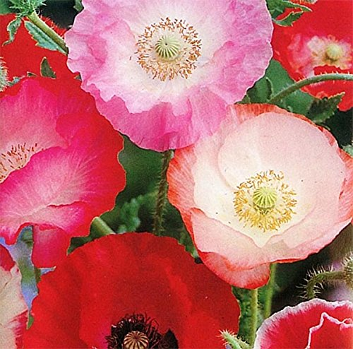 Red Poppy Seeds (100,000 Shirley Poppies Seeds: Pink and Red Pastel Poppy Seeds - Non GMO and Neonicotinoid Seed)