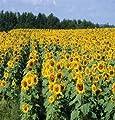 David's Garden Seeds Sunflower Royal Hybrid SUN1121 (Yellow) 100 Hybrid Seeds