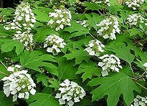 4 Starter Plants of Hydrangea Querfolia Pee Wee