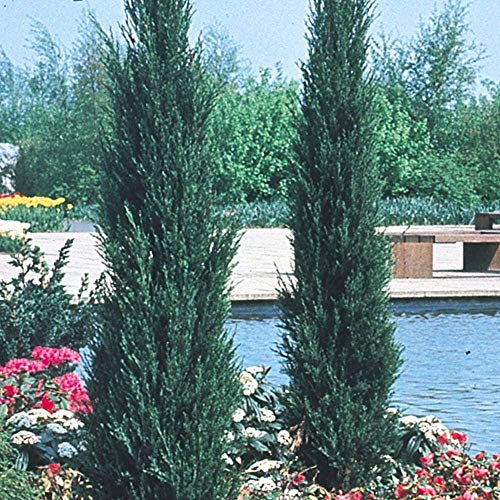 Skyrocket Juniper - 40 Live 2'' Pots - Juniperus Scopulorum - Upright Evergreen Trees by Florida Foliage (Image #1)