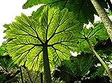 Gunnera peltata | Giant Rhubarb | 10_Seeds