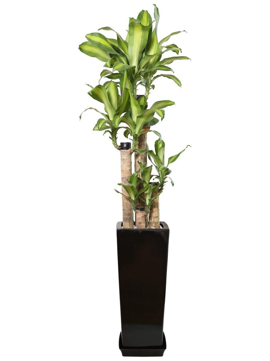 観葉植物 幸福の木(ドラセナ)8号角陶器鉢L(黒) B00L8V510E  黒