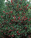 Nellie R Stevens Holly - Healthy Plants – Potted Plant - Super Roots - 3 Pack