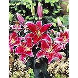 SANHOC Seeds Package: GARTHWAITE Nurseries: - 6 Stargazer Lily Seeds Red/Highly Fragrant GardenSEED
