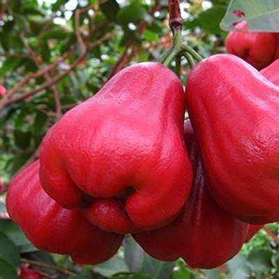 MelysUS Garden-50pcs/Bag Wax Fruit Seeds Garden Non-GMO Edible Jambu Fruit Tree Seeds Fruits : Garden & Outdoor