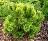 VARIEGATED MUGO PINE - Pinus mugo 'Misty' 2 - YEAR TREE