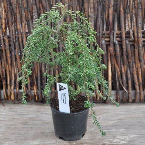 Tsuga canadensis, Cole's Prostrate, Hemlock for Miniature Garden, Fairy Garden Review
