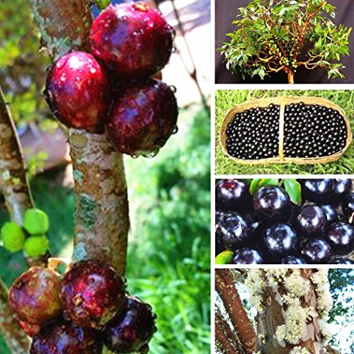 Meflying 100pcs Jaboticaba Seeds Fruit Seeds Bonsai Grape Tree Plant Seeds Indoor Outdoor (Wine Grape Bonsai Tree)