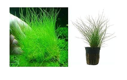 15 Eleocharis acicularis aguja aleros semillas de plantas acuaticas acuario #323