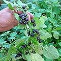 Garden Huckleberry (Solanum nigrum) 50 Fresh Organic Heirloom Seeds + FREE Bonus 6 Variety Seed Pack - a $29.95 Value! Seeds Packaged in Glass Vial 'Seed Capsules' for Proper Long-Term Storage