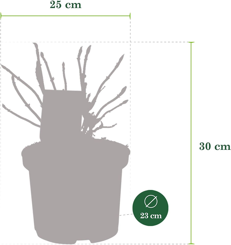 "Hardy Ortensia blu Altezza 25-35 cm Hydrangea macrophylla /""Forever /& Ever/"" Vaso-/Ø 23 cm"