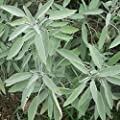 Broad Leaf Sage Seeds (Salvia officinalis) 25+ Rare Heirloom Herb Seeds