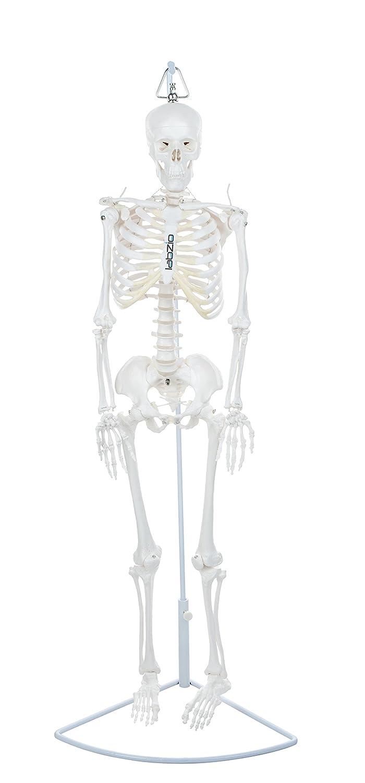 Labzio By Eisco Premium Human Skeleton Hanging Model 85 Cm