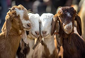 Four Goats Art Print Canvas Poster,Home Wall Decor(20x30 inch)