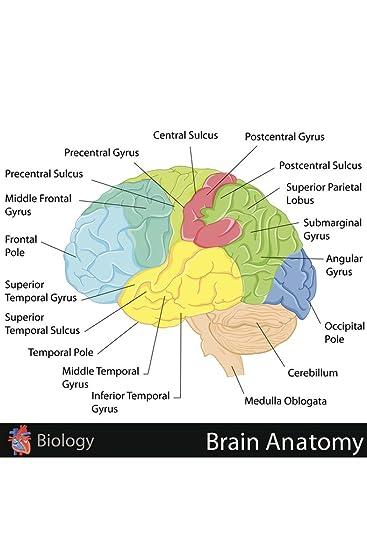 Amazon.com: Human Brain Anatomy Regions Labeled Educational Chart ...