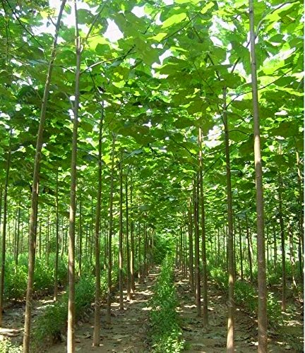 paulownia elongata paulownia seeds New forest tree seeds,fast growing tree paulownia tree seeds outdoor plant 100 pcs/bag SVI