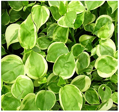 variegated-peperomia-plant-cuttings-house-plant-excellent-clean-air-plants-for-indoor-by-oakland-gar