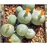 Conophytum calculus - planta suculenta - 10 semillas