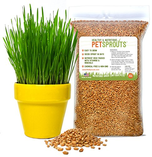 Wheatgrass Seeds - Organic Cat Grass Seeds, Hard - Grass Seed For Cats