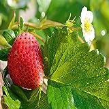 Mara Des Bois Everbearing 100 Live Strawberry Plants, NON GMO