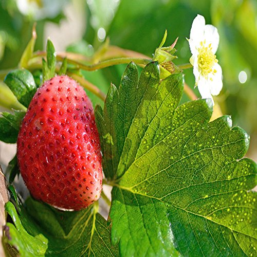 Mara Des Bois Everbearing 100 Live Strawberry Plants, NON GMO by MW119