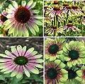 New Heirloom Green Envy Echinacea Coneflower Perennial Flowers, 100+ Seeds