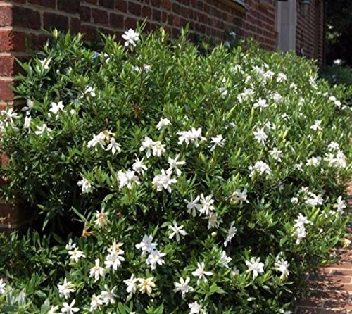 Frost Proof Gardenia ( Cape Jasmine ) - Live Plant -  3 Gallon Pot
