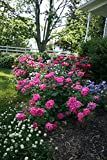 Knockout Double Pink Rose, 1 Gal