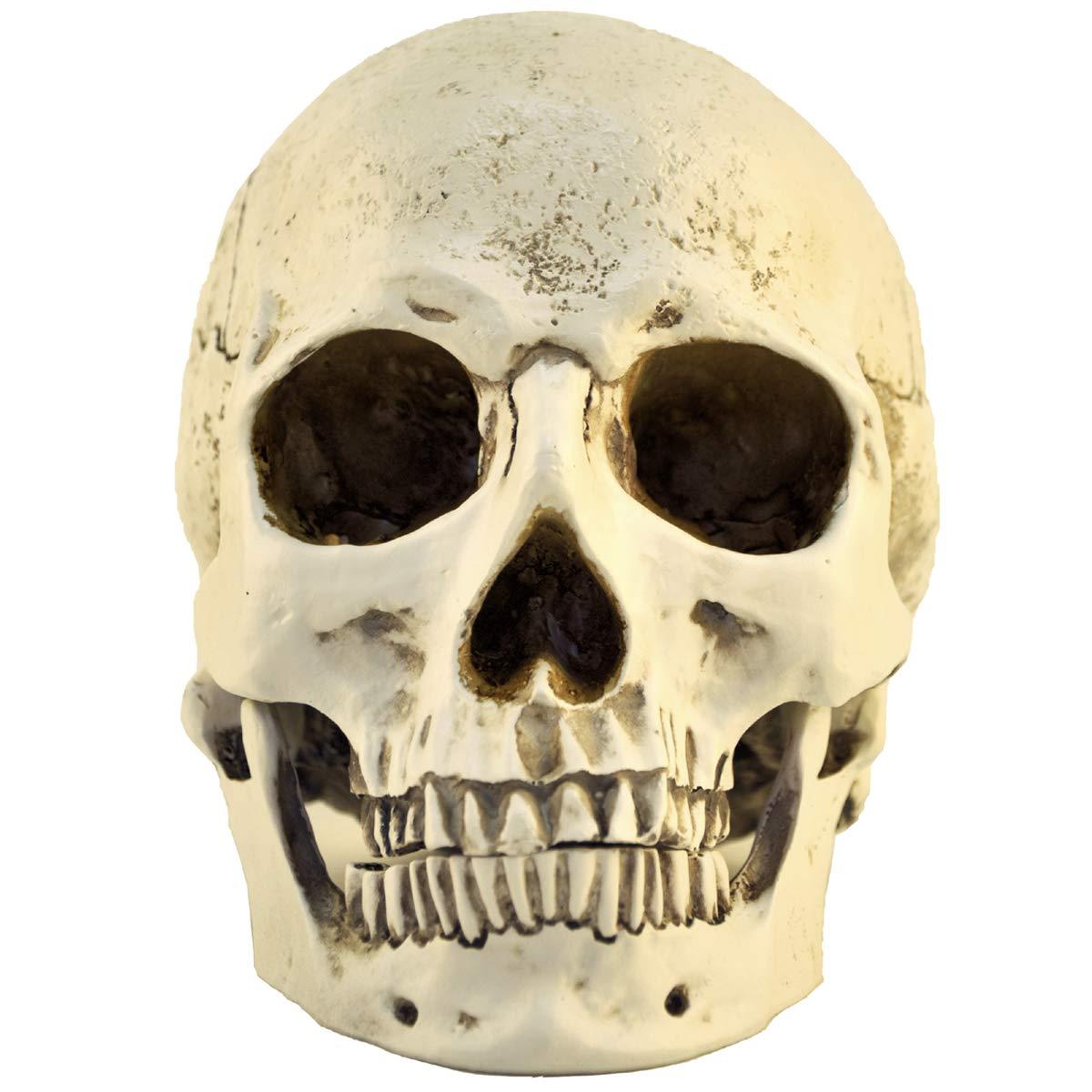 ENNAS 1 1 Resin Skull Head Model Simulation Skeleton Head Medical Skull Art Copy for Halloween Decor
