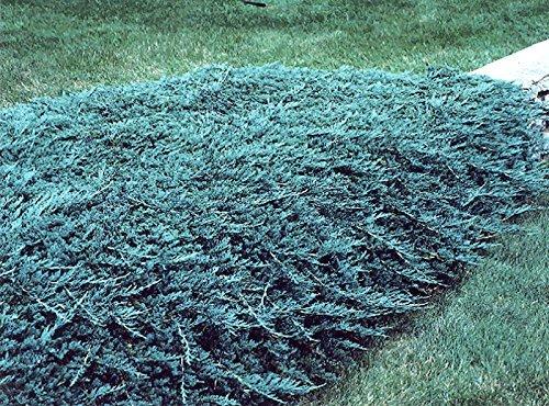 Blue Rug Juniper Wiltonii Qty 30 Live Plants Evergreen Groundcover by Blue Rug Juniper (Image #3)