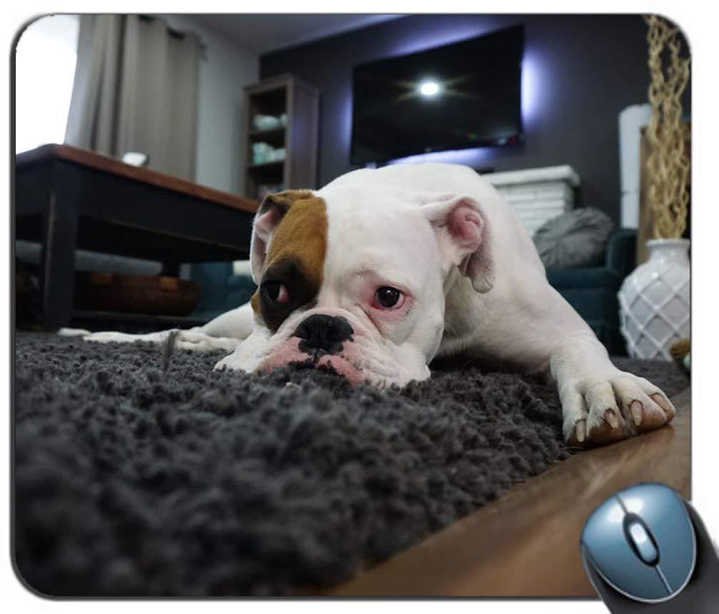 Amazoncom White And Tan English Bulldog Lying On Black Rug