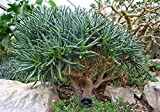 Aloe Ramosissima Succulent Cactus 5 Seeds~South African Quiver Tree~Not Dichotoma