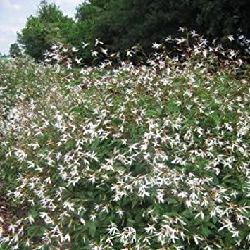 Lichtnelke Dreiblattspiere Gillenia Trifoliata Amazonde Garten