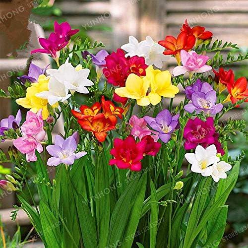 Kisshes Seedhous Freesias - Flores dobles en mezcla de flores para jardín, plantas vivas en macetas, macetas o macetas: Amazon.es: Jardín
