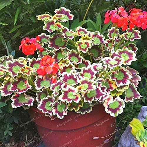 Jefe loco!!! 100 piezas raras semillas de geranio geranio abigarrado maceta de jardín de invierno Bonsai planta de flor en maceta jardín de su casa: Amazon.es: Jardín
