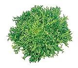 Burpee Galia Frisse Endive Seeds 950 seeds