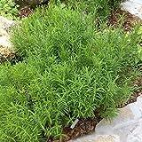 David's Garden Seeds Herb Tarragon Mexican SL4499 (Green) 200 Non-GMO, Heirloom Seeds