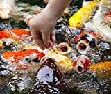 Live Koi Fish - Lot of 20 Standard Fin Grade A Quality Koi (3-4 inch) by Chalily