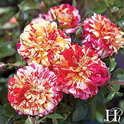 Own-Root One Gallon All-American Magic Grandiflora Rose by Heirloom Roses : Garden & Outdoor