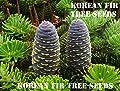10 Korean Fir Tree Seeds