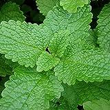 MELISSA OFFICINALIS 500 SEMI aromatica Lemon Balm pianta erba spezia spezie