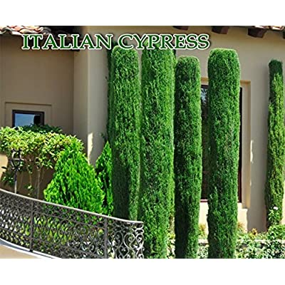 Italian cypress (Cupressus sempervirens)100 Seeds, Tuscan, or Graveyard Cypress : Garden & Outdoor