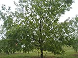 "Black Walnut Tree 18"" - 24"" Healthy Bare Root Plant - 3 Pack"