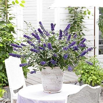 Dwarf Patio Buddleia U0027Blue Chipu0027 Plants   Pack Of 3 In 9cm Pots